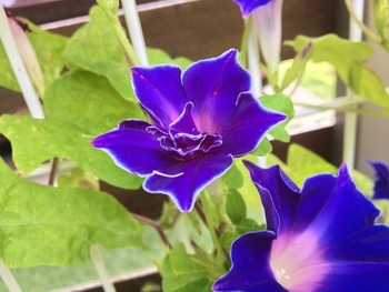 令和元年夏の這わせ花朝顔【青のさむらい】を育てる 2019/9/12 まだまだ咲きます