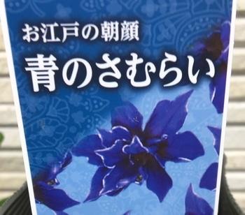 令和元年夏の這わせ花朝顔【青のさむらい】を育てる