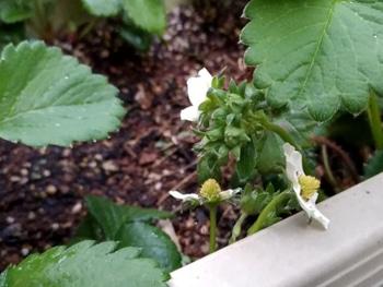 2019年 白いイチゴを種から栽培してみます! 受粉してくれるかな?