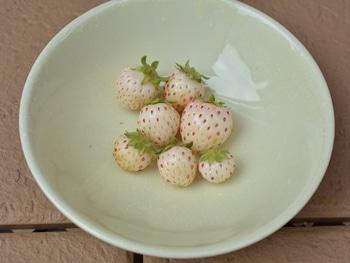 2019年 白いイチゴを種から栽培してみます! 2019.05.19_収穫