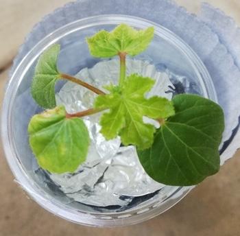 オクラ🌱種から水耕栽培 オクラの様子