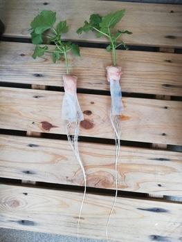 オクラ🌱種から水耕栽培 残り2苗の定植