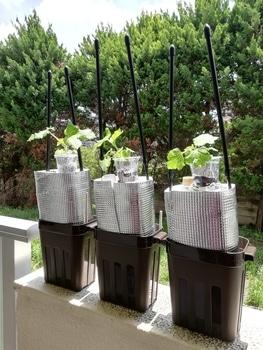 オクラ🌱種から水耕栽培 定植容器に支柱を取り付ける