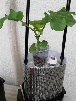 オクラ🌱種から水耕栽培 定植、その後の様子