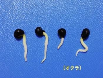 オクラ🌱種から水耕栽培 シール容器→プラコップへ(発芽用)その1