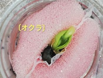 オクラ🌱種から水耕栽培 オクラの様子~発芽直前