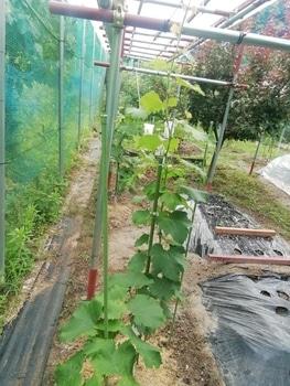 ブドウゴルビーと藤稔の栽培 ゴルビー主枝決定