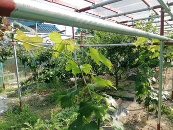 ブドウゴルビーと藤稔の栽培 遂に誘引まで来たよ