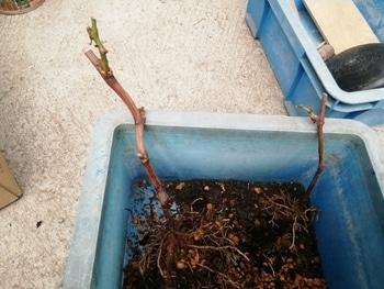 ブドウゴルビーと藤稔の栽培 一応根の確認です。