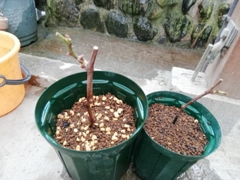 ブドウゴルビーと藤稔の栽培 植え替え終了