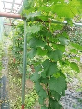 ブドウゴルビーと藤稔の栽培 昨年末植えたゴルビー