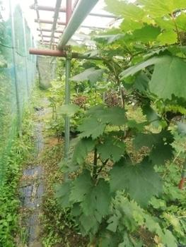 ブドウゴルビーと藤稔の栽培 藤稔も随分立派に