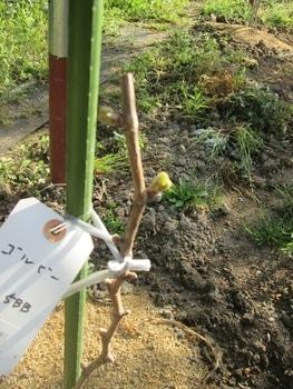 ブドウゴルビーと藤稔の栽培 ゴルビーにも新芽
