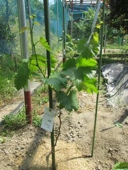 ブドウゴルビーと藤稔の栽培 ゴルビー