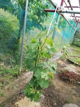 ブドウゴルビーと藤稔の栽培 藤稔も