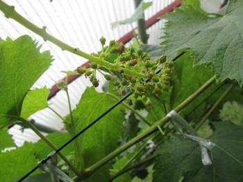 手探り状態のブドウ栽培 ジベレリン処理1日後