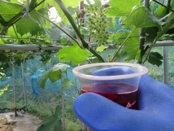 手探り状態のブドウ栽培 ジベレリン処理