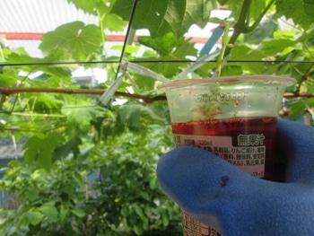 手探り状態のブドウ栽培 ジベレリン液にジャンプ