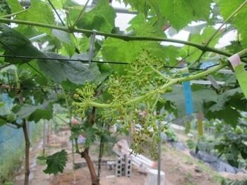 手探り状態のブドウ栽培 デカ過ぎ