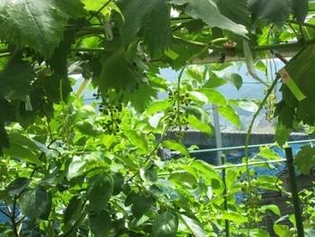 手探り状態のブドウ栽培 ジベレリン処理後