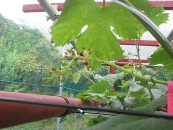 手探り状態のブドウ栽培 ブドウトラカミキリの食害