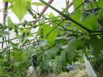 手探り状態のブドウ栽培 シャインマスカットの花芽が分割