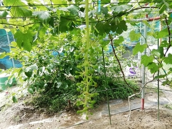 手探り状態のブドウ栽培 ジベレリング処理後8日