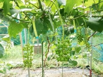 手探り状態のブドウ栽培 巨峰は5mm