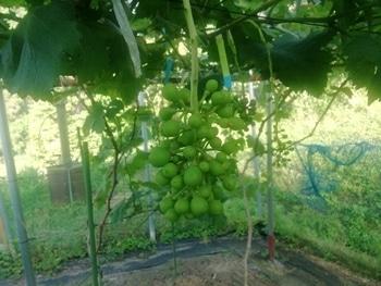 手探り状態のブドウ栽培 2回目のジベレリング処理