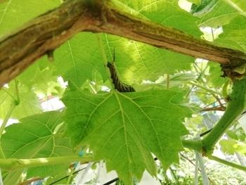 手探り状態のブドウ栽培 次から次に