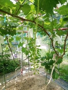 手探り状態のブドウ栽培 最後のジベレリング処理