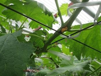 手探り状態のブドウ栽培 新梢の花芽の裏側に異変