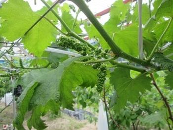 手探り状態のブドウ栽培 巨峰の花房整形