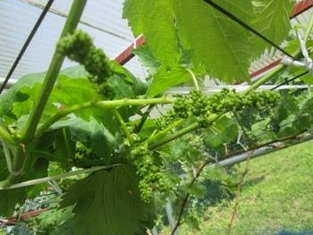 手探り状態のブドウ栽培 花房整形中