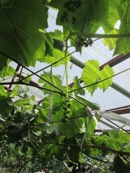 手探り状態のブドウ栽培 ジベレリン前