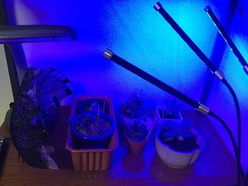 ガステリア(シロちゃん) 植物育成灯使いました。