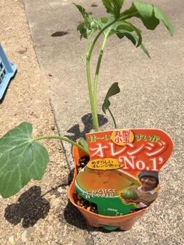 小玉スイカの空中栽培に挑戦!