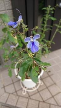 冬越しの挿し木から蝶は舞うか 9月21日 8号鉢にて