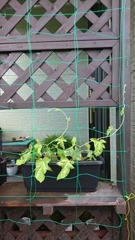 枝垂れアサガオ栽培 蔓が伸びてきた