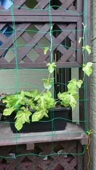 枝垂れアサガオ栽培 順調に育ってます