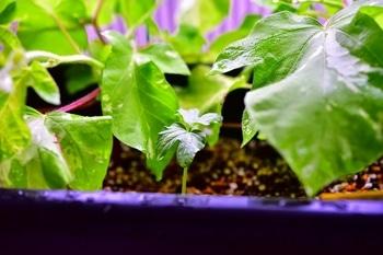 枝垂れアサガオ栽培 新しい芽が出ていました