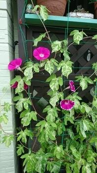 枝垂れアサガオ栽培 2種類の花が咲きました