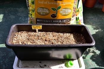 枝垂れアサガオ栽培 種まき作業