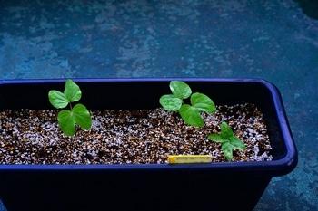 枝垂れアサガオ栽培 新芽が出てきました