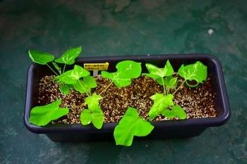 枝垂れアサガオ栽培 今日の様子