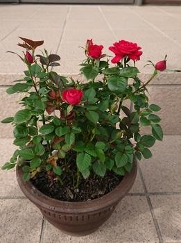 コルダーナのミニ薔薇は一年でどれだけ成長するのか?☆2019年5月から 20190604