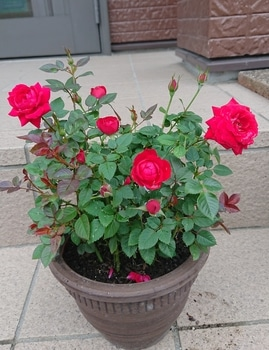 コルダーナのミニ薔薇は一年でどれだけ成長するのか?☆2019年5月から 20190610