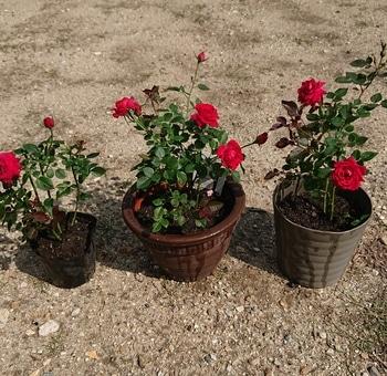 コルダーナのミニ薔薇は一年でどれだけ成長するのか?☆2019年5月から 20190612
