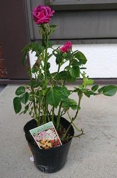 コルダーナのミニ薔薇は一年でどれだけ成長するのか?☆2019年5月から