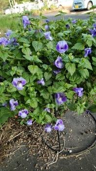 初めてのサマーウェーブをこんもり咲かせたい。 大雨は平気だった。